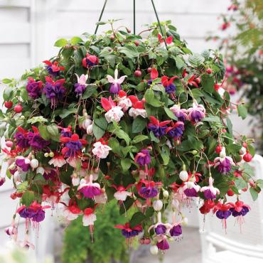 Fuchsia Hanging Baskets