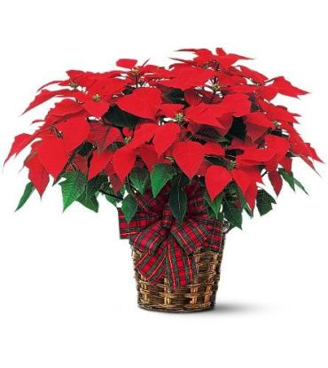 Red Poinsettia<br>TF103-1