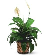 Spathiphyllum Plant<br>TF133-2
