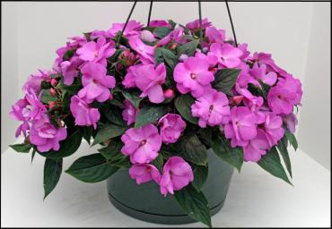 Impatiens Hanging Plants