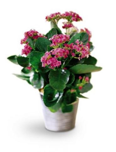 Kalanchoe Plant in a Basket<br>  TF131-1
