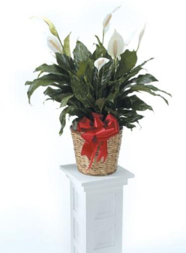 Peace Lily Plant<br>CTT 30-21