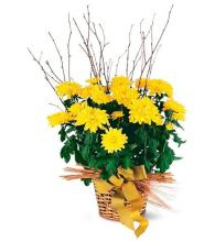 Yellow Hope Chrysanthemum <br>TF210-2