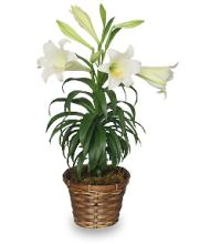 Traditional Easter Lily