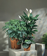 Florist Choice Plant ONE PLANT SELECTED BY US!